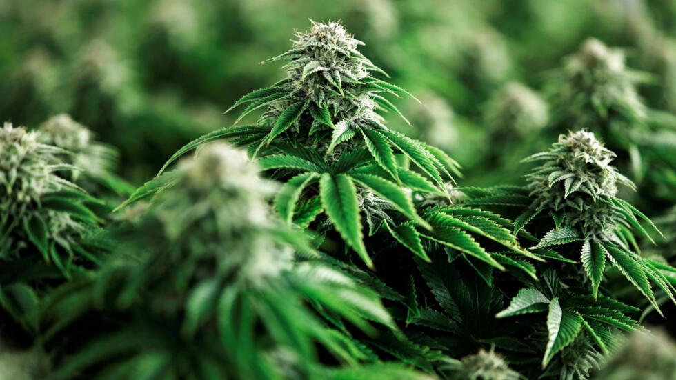 el-largo-camino-hacia-la-legalización-del-cannabis-en-méxico