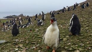 Une colonie de manchots royaux sur l'île Ardley, en Antarctique, le 3 février 2018