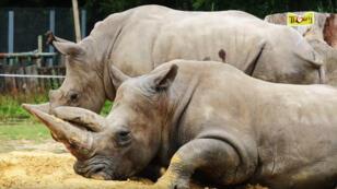 Les rhinocéros blancs du parc zoologique de Thoiry, en 2015.