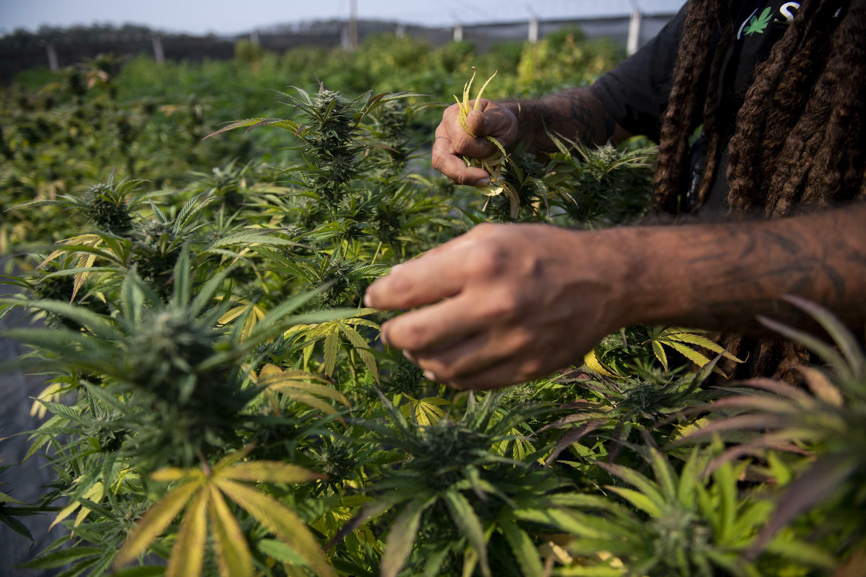 El agrónomo y biólogo brasileño Diogo Mantovanelli inspecciona las plantas de cannabis en la granja de producción de la Asociación de Investigación de Cannabis Medicinal y Apoyo al Paciente (APEPI) en Paty dos Alferes, estado de Río de Janeiro, Brasil, el 9 de septiembre de 2021