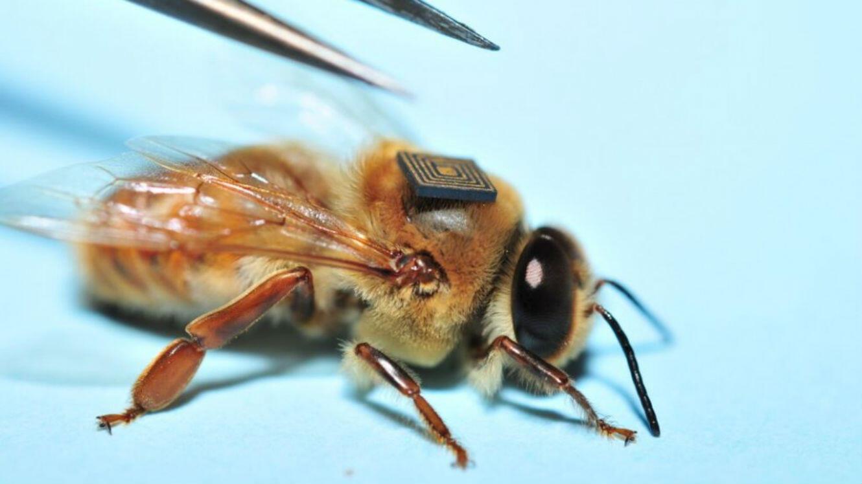Le dispositif électronique est assez léger pour ne pas gêner le vol des pollinisatrices.