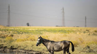 Un caballo pasta y bebe de un arroyo contaminado por fugas de petróleo cerca de Rmeilan, en la provincia siria de Al-Hasaka, controlada por los kurdos, el 19 de julio de 2020