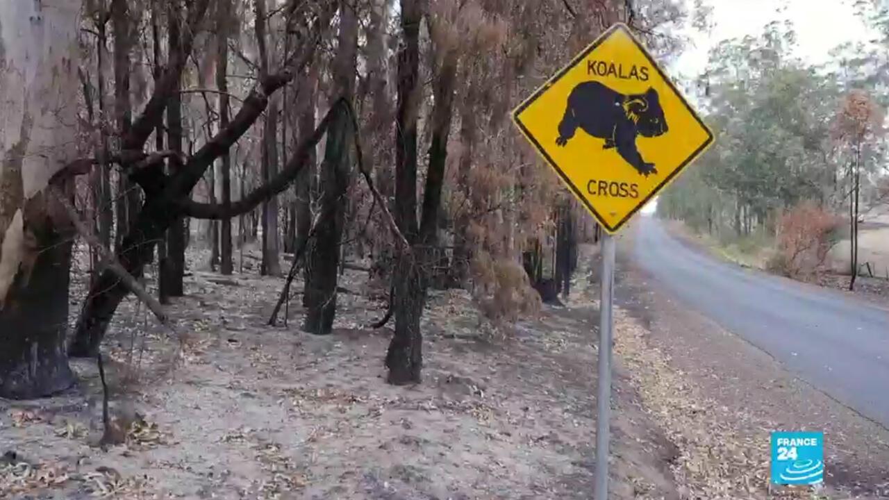 Une catastrophe écologique dont les koalas sont les principales victimes.
