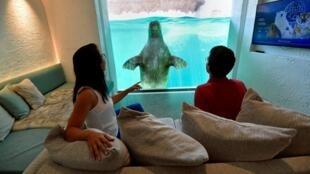Visitantes miran una morsa desde su habitación de hotel en el parque de animales Pairi Daiza en Brugelette, el 30 de julio de 2020.
