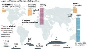 Map locating the main whaling nations and different species of whales caught around the world in 2017