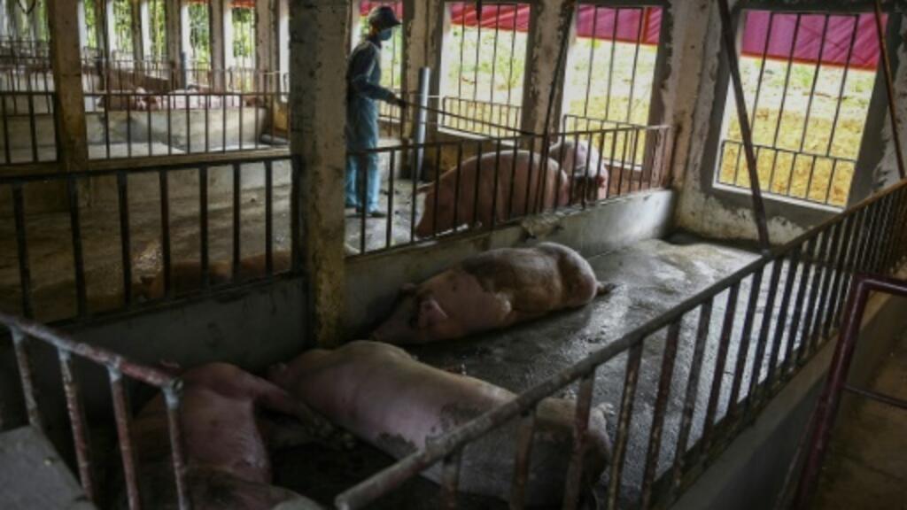 Peste porcine en Asie: cinq millions de porcs morts en un an