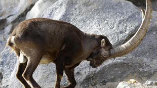 There are over 6,000 Alpine ibexes in the Swiss canton of Wallis