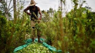 Un migrant vénézuélien travaillant dans une plantation de coca dans la région de Catatumbo, en Colombie, le 08 février 2019.