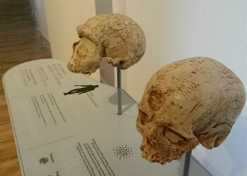 Various tactile objects - such as theses Neanderthal and Sapiens skulls - are designed for the blind or visually impaired.