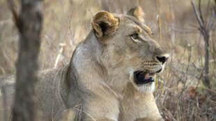 Une lionne dans la réserve animalière de Hwange, en novembre 2012