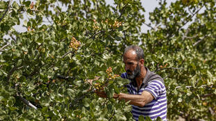 A pistachio farmer tends to a tree at a pistachio orchard in the village of Maan, north of Hama in Syria