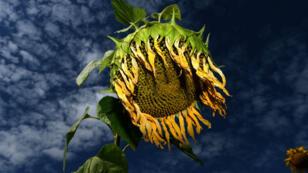 La vague de chaleur qui frappe l'Europe a des conséquences pénibles notamment pour le monde agricole.