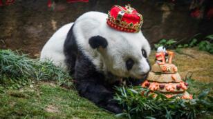 La femelle panda Basi soufflant les bougies de son gâteau d'anniversaire, le 18 janvier 2017.