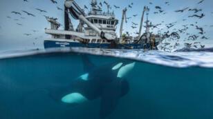 """Intitulée """"On peut partager le butin"""", cette photo montre un orque attiré par un chalutier en train de remonter un filet de pêche, dans l'océan Arctique."""