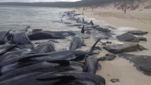 Plus de 150 baleines-pilote se sont échoués sur une plage à l'ouest de l'Australie.