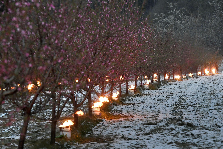 In diesem Frühjahr verwüstete ein Spätfrost französische Weinberge und Obstplantagen