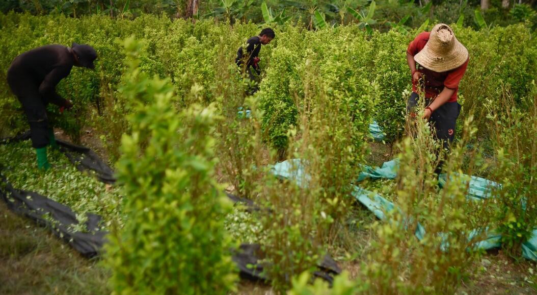 Un grupo de campesinos trabaja en una plantación de hojas de coca, en Catatumbo, Norte de Santander, Colombia, el 8 de febrero de 2019.