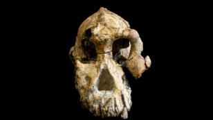 El cráneo de la especie Australopithecus anamensis, un fósil descubierto en 2016 en Etiopía, se ve en esta foto publicada el 28 de agosto de 2019, en Cleveland, Ohio, EE. UU.