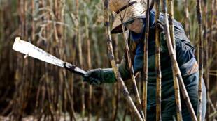 Una trabajadora corta caña de azúcar con un machete durante la cosecha en una plantación de Guariba, a unos 400 km de Sao Paulo, el 6 de junio del año 2008 en Brasil