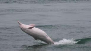 Les dauphins roses sont une espèce menacée.