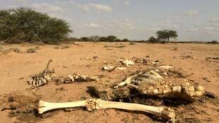 El cuerpo de un camello en Somalilandia, donde la sequía ha matado al 80 por ciento del ganado.