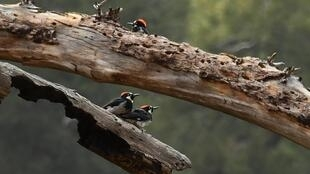 Acorn woodpeckers look for bugs in a dead tree in the Angeles National Forest where the Bobcat Fire is burning above Duarte, California