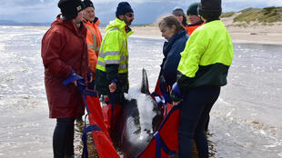 Rescuers in Australia have been battling chilly waters for days to try and save as many whales as possible after a mass stranding in Tasmania