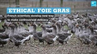 Scientists in France say they have found a way to make foie gras without force-feeding geese.