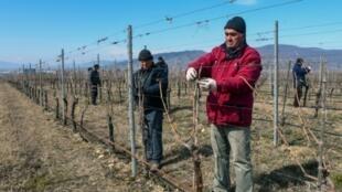 Des ouvriers agricoles travaillent dans un vignoble à Saguramo, le 11 mars 2019 en Géorgie