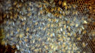 Les néonicotinoïdes sont accusés d'être notamment responsables du déclin des abeilles.