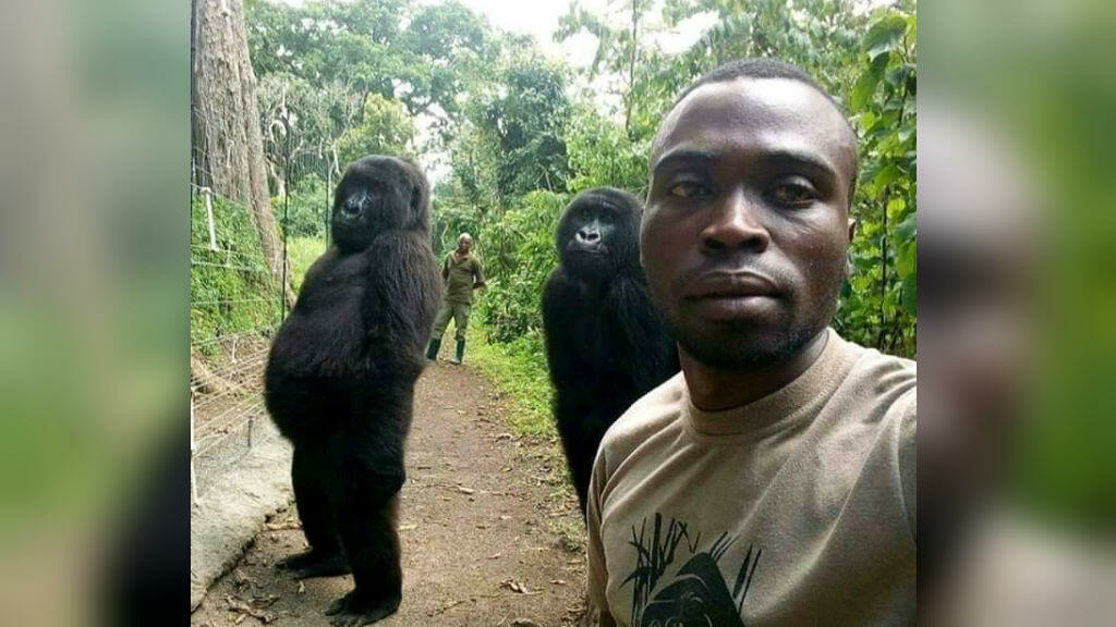 Ndakasi, the Congolese gorilla famous for selfie with rangers, has died thumbnail