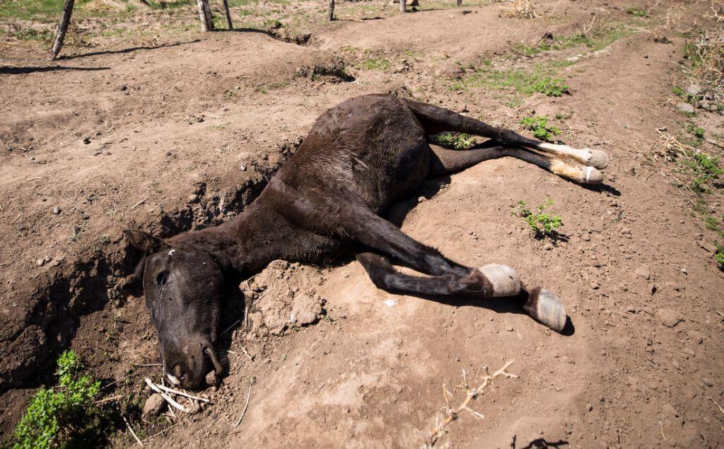 Una yegua muerta en los terrenos del ganadero Fernando Enríquez en Putaendo, región de Valparaíso (Chile). 24 de septiembre de 2019.