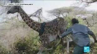 2020-12-07 11:13 Kenya conservationists saved giraffe from flooded island