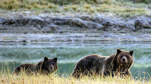 Grizzly bears once flourished across the West's wilderness, but only around 1,500 survive today in the 48 lower US states