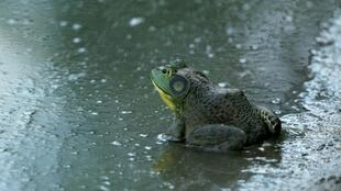 The American bullfrog -- seen here in Farmingdale, New York in August 2016 -- is considered an invasive amphibian