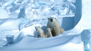 On current trends, polar bears in 18 of 19 subpopulations will have been overtaken within 80 years by the galloping pace of change in the Arctic