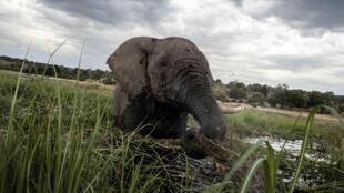 Foto de archivo de un elefante en las aguas del río Chobe en el Parque Nacional de Chobe en Botswana, el 20 de marzo de 2015.