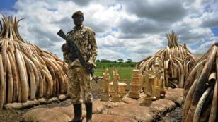 Un soldat kényan surveille les bûchers d'ivoire qui doivent être brûlés, samedi 30 avril 2016, au Kenya.