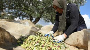 Une femme récolte des olives dans un village près de Tunis, en novembre 2015.