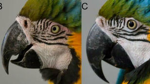 Illustration photographique du rougissement observé sur la peau des joues des Aras.