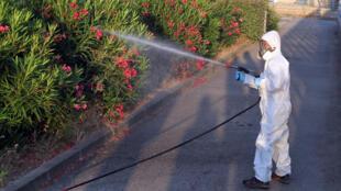 Un agent des services sanitaires asperge des plantes ornementales à Propriano, zone où a été identifiée la bactérie tueuse.