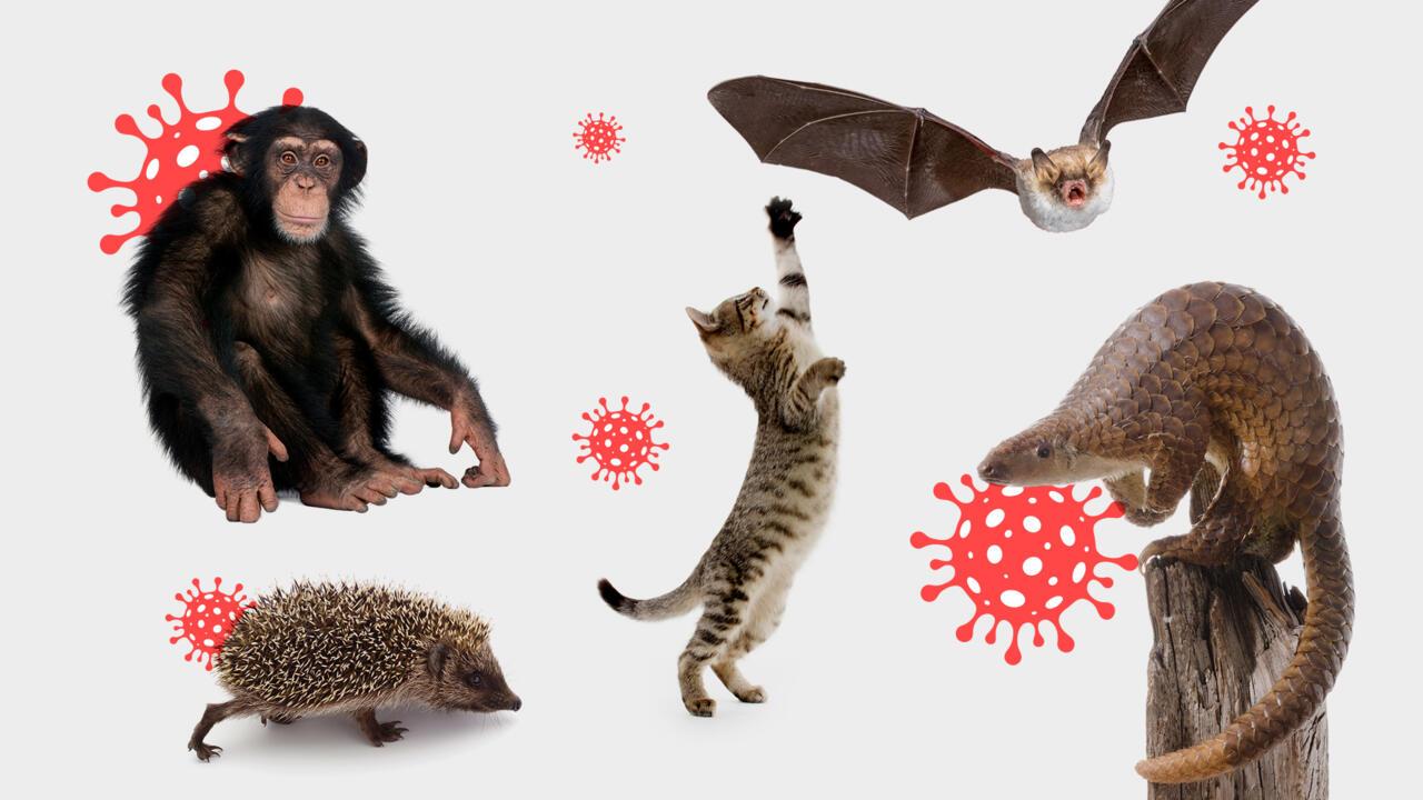 Quand l'IA part à la chasse au prochain coronavirus chez les mammifères - FRANCE 24