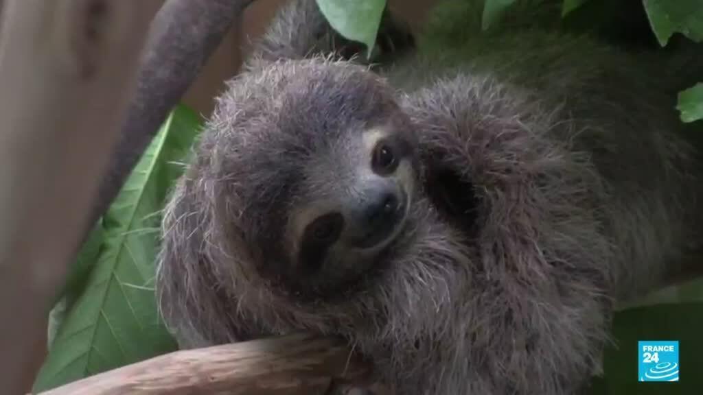 2021-08-09 14:43 Panamá: organizaciones luchan contra el tráfico de animales silvestres