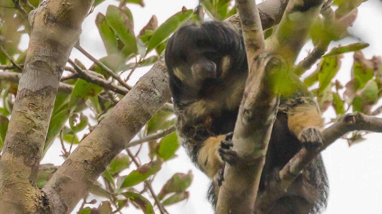 Le saki à tête chauve de Vanzoli observé dans un arbre lors de l'expédition Houseboat Amazon, en février dernier.