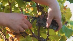A grape harvest in France's Bordeaux region