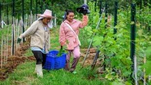 Empleados, sembrando nuevas viñas en la plantación de GranMonte, que produce vino en Tailandia, el 26 de junio de 2020