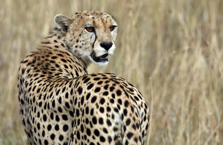 Un guépard dans la réserve nationale du Masai Mara, au sud-ouest du Kenya, le 24 juillet 2008.