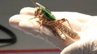 باحثون أمريكيون يحولون حشرات جَراد إلى كائنات سايبورغ للكشف عن المتفجرات