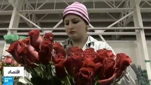 عاملة كولومبية في إحدى ورشات إعداد وتصدير الورود