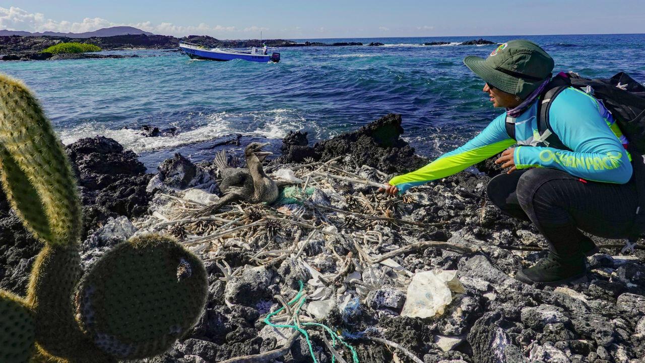 La biologiste Jennifer Suarez, experte en éco-systèmes marins du Parc national des Galapagos, collecte des déchets près d'un cormorant, en Équateur, le 21 février 2019.